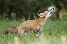 лиса,лис, лисята, лисички, fox,,живность