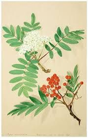rowan tree - Google Search