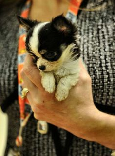Papillon puppy :D Oh my good god. Puppies And Kitties, Teacup Puppies, Cute Puppies, Doggies, Cute Baby Animals, Animals And Pets, Dog Breath, Cute Dog Pictures, Papillon Puppies