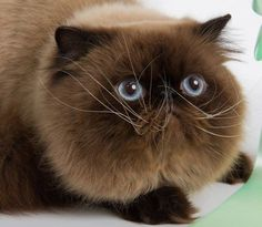 Persian Cat....pugged Face I had to pin it :)