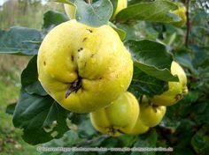Ihr Obstbaum-Shop! Alte Obstsorten - Alte Apfelsorten - www.alte-obstsorten-online.de - Quittenbaum, Apfelquitte 'Konstantinopeler Apfelquitte' - Quitte