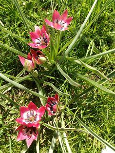 Tulipa pulchella var. violacea (tulipány): Václav Kovalčík, Zlín