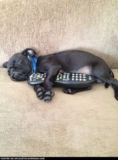 aplacetolovedogs:    Don't change the channel please. We were watching animal planets dog whisperer n Carlton (a black pug) wanted to cuddle with the remote  Submitted by Gregory C  Original Article