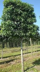 liquidambar leivorm - mooi volle boom