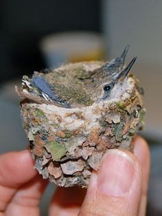 Baby Hummingbirds (Wonder of Nature Life & Beauty ) What a beautiful nest also! All Birds, Cute Birds, Pretty Birds, Little Birds, Beautiful Birds, Animals Beautiful, Cute Animals, Baby Hummingbirds, Nester