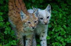 Baby Lynx. Photo by jeremyhost