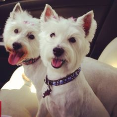 For u dog lovers thought this was a cute pic of kel n suzie w their new summer cuts!