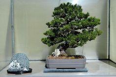 pinus-contorta-ssp-contorta--shore-pine-3---year-seedling.jpg 640×427 pixels