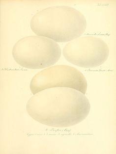 Zur Fortpflanzungsgeschichte der gesammten Vögel Dresden,[1856?]. biodiversitylibrary.org/page/13663458