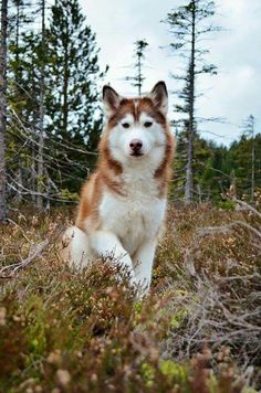 Wonderful All About The Siberian Husky Ideas. Prodigious All About The Siberian Husky Ideas. Red Siberian Husky, Alaskan Husky, Siberian Husky Puppies, Husky Puppy, Siberian Huskies, Alaskan Malamute Red, Sweet Dogs, Cute Dogs, Wolf Husky