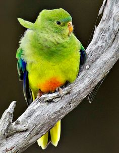 CRITICALLY ENDANGERED: ORANGE BELLIED PARROT