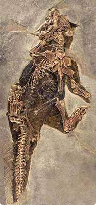 Psittacosaurus-quilled-Mayr-2002-tiny  // Psittacosaurus mongolensis //The specimen with tail integument / , Senckenberg Museum  http://upload.wikimedia.org/wikipedia/commons/7/72/Psittacosaurus_mongoliensis.jpg  http://archosaurmusings.wordpress.com/2013/11/13/the-filamented-psittacosaurus/