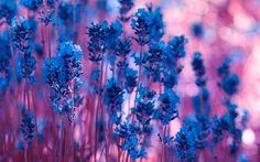 Purple flowers 4K Ultra HD Wallpaper  | Download Violet Lavender Flowers Wallpaper | WallpapersByte