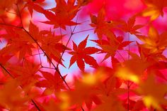 The Japanese have a word for viewing the Autumn colours - Momijigari