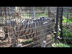 RTS Assesment - PLEDGE: Help Us Save The Remaining Tigers at Riverglen Feline Conservancy a breeding facility not a rescue