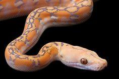 Albino Python reticulatus