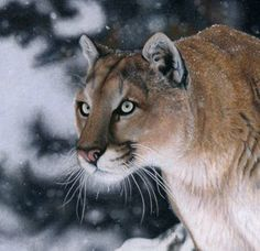 """Colored Pencil drawing photorealistic by Christina Langman """"Cougar Face"""" from BigCatArt Blog: Focus - FINISHED!"""