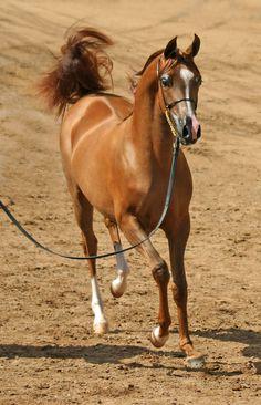 Flirtatious Arabian Chestnut  Filly - Horse Photography
