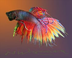 The Betta Mixed Media by Neal Wiseman