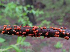 Nectria cinnabarina - punanäppy | Flickr - Photo Sharing!