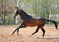 Ахалтекинская - фотографии - equestrian.ru