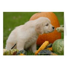 Golden Retriever Puppy Sniffing a Gourd Card