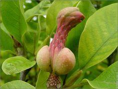 Arbre magnolia amusant