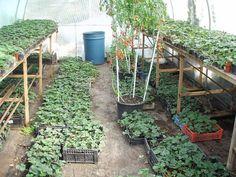 выращивание рассады клубники в теплице.jpg