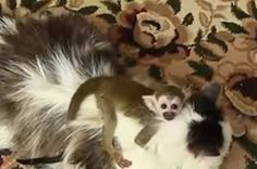 This Baby Monkey Riding A House Cat Is The Animal Kingdom's Real Life Valcor