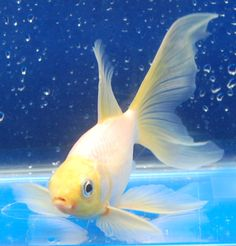 Goldfish tiger yellow comets pescados pinterest for Comet pond fish