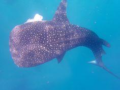 Whale shark, Oslob, Cebu, Philippines