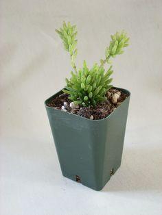 "Rhipsalis mesembryanthemoides ""Misteltoe Cactus"""