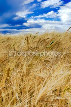 Field of ripened rye against the blue sky