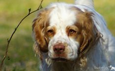 Clumber Spaniel - History ✓, Character ✓, Way of working & natural abilities ✓, Training ✓ Clumber Spaniel, Spaniels, Creatures, Cats, Nature, Animals, Flower, Gatos, Naturaleza