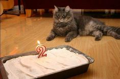 Quick and easy recipe! Learn how to make a birthday celebration cake for your pet cat with healthy coconut flour. Coconut Flour Cakes, Coconut Flour Recipes, Cake Recipe For Cats, Birthday Cake For Cat, Birthday Cakes, Birthday Ideas, Siberian Cats For Sale, What Cats Can Eat, Cat Safe Plants