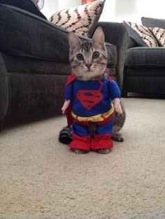 4. #Supercat - 28 Hilarious Cats in #Halloween Costumes ... → Funny [ more at http://funny.allwomenstalk.com ]  #Lobster #Hello #Riding #Costumes #Kitty