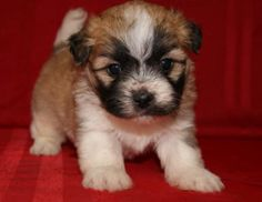 Shi-Chon Teddy Bear Puppies for Sale