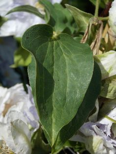 Clematis Dancing King - Foliage.