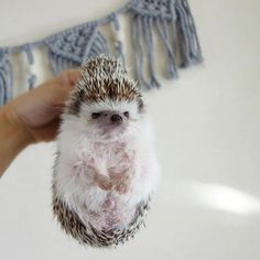 Baby Animals Super Cute, Cute Little Animals, Cute Funny Animals, Baby Animals Pictures, Cute Animal Pictures, Animals And Pets, Hedgehog Pet, Cute Hedgehog, Hamster