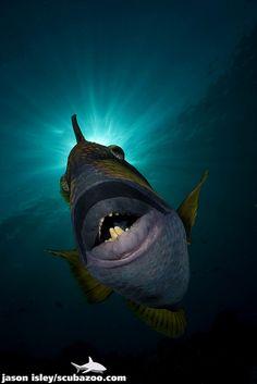 Titan Triggerfish, Vaavu Atoll. by Jason Isley, via Flickr