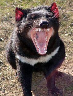 Travels in Tasmania, a documentary by Robert Stephens. Photo by Dan Fellow ~ Tasmanian Devil. Unique Animals, Animals Beautiful, Cute Animals, Tasmanian Tiger, Tasmanian Devil, Reptiles, Mammals, Australia Animals, Interesting Animals