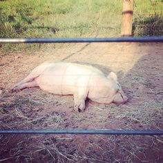 A pig's life. Mr. Wrigley does not even know, or care, that it is Monday. #1818farms #pigs #hflivestock