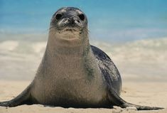 The Caribbean Monk Seal, once native to the Caribbean Sea and Gulf of Mexico, have sadly gone extinct. Polar Animals, Animals For Kids, Baby Animals, National Geographic, Hawaiian Monk Seal, Frans Lanting, Marine Reserves, Save Our Oceans, Extinct Animals