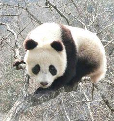 Lielā panda