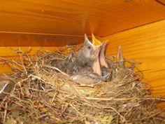 Vogelkunde: Ereignisreiche Kindertage unserer Vögel (Foto (Jürgensen): Um Futter bettelnde Amselküken)