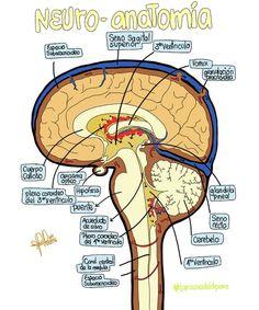 La clinica tiene un objetivo Buscará conportamientos  Para dejar las substancias Toxicas para drogadictos Esto es con las redes neuronales Convativas quieres conpartir Algo es en éste tablero los mexicanos necesitan aportar Lo mejor de ustedes tu actitut Le fa vida a el JAGUAR  ........LO LAMENTO....... Medicine Notes, Medicine Student, Human Body Anatomy, Muscle Anatomy, Student Survival Kits, Nervous System Anatomy, Ap Psych, Medical Anatomy, Anatomy Study