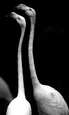 Flamingos, in tune with each other like dancers are-always beautiful shapes.
