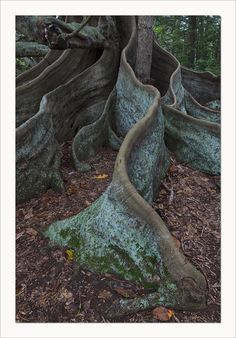 Reminds me of the beautiful trees on my island Norfolk Island, Islands In The Pacific, Tropical, Tree Roots, Tree Forest, Small Island, Places To Visit, Nature, Plants