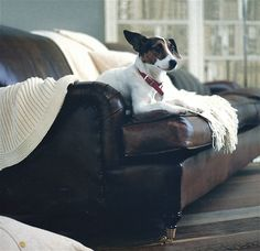 Jack Russell on a Lansdown sofa. 'Homes & Gardens' shoot, 1990s.