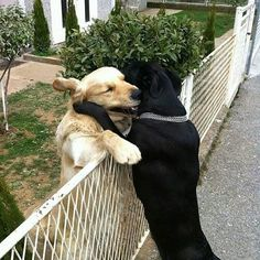 This what love Is.. #collarbuddies #Labrador_pictures #labrador #mylabrador…